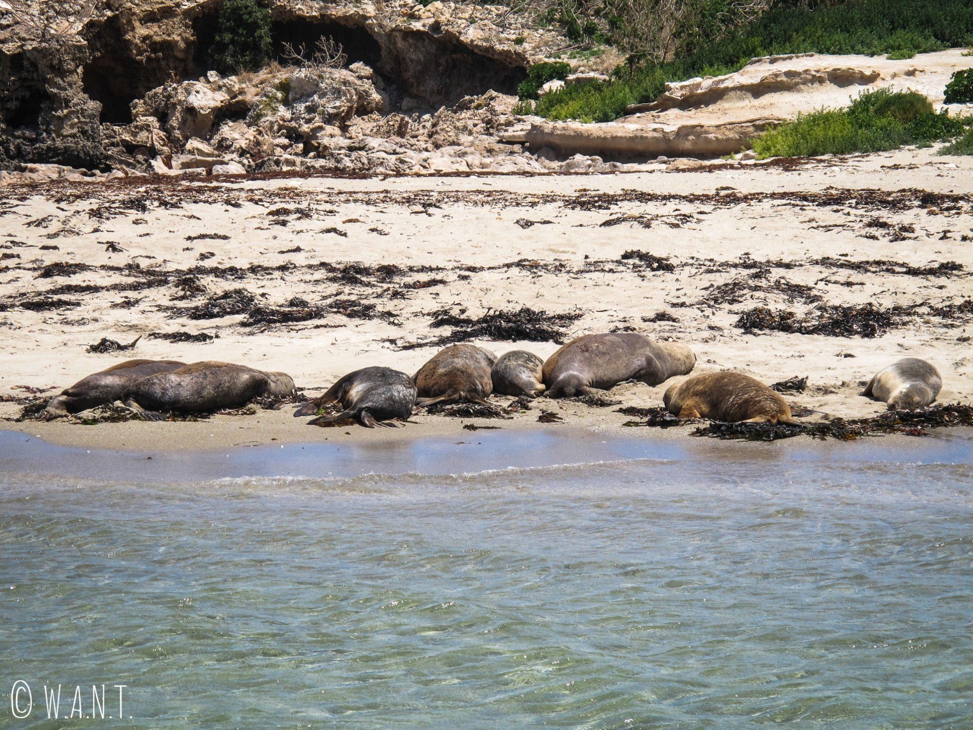 Gros plan sur les lions de mer de Penguin Island