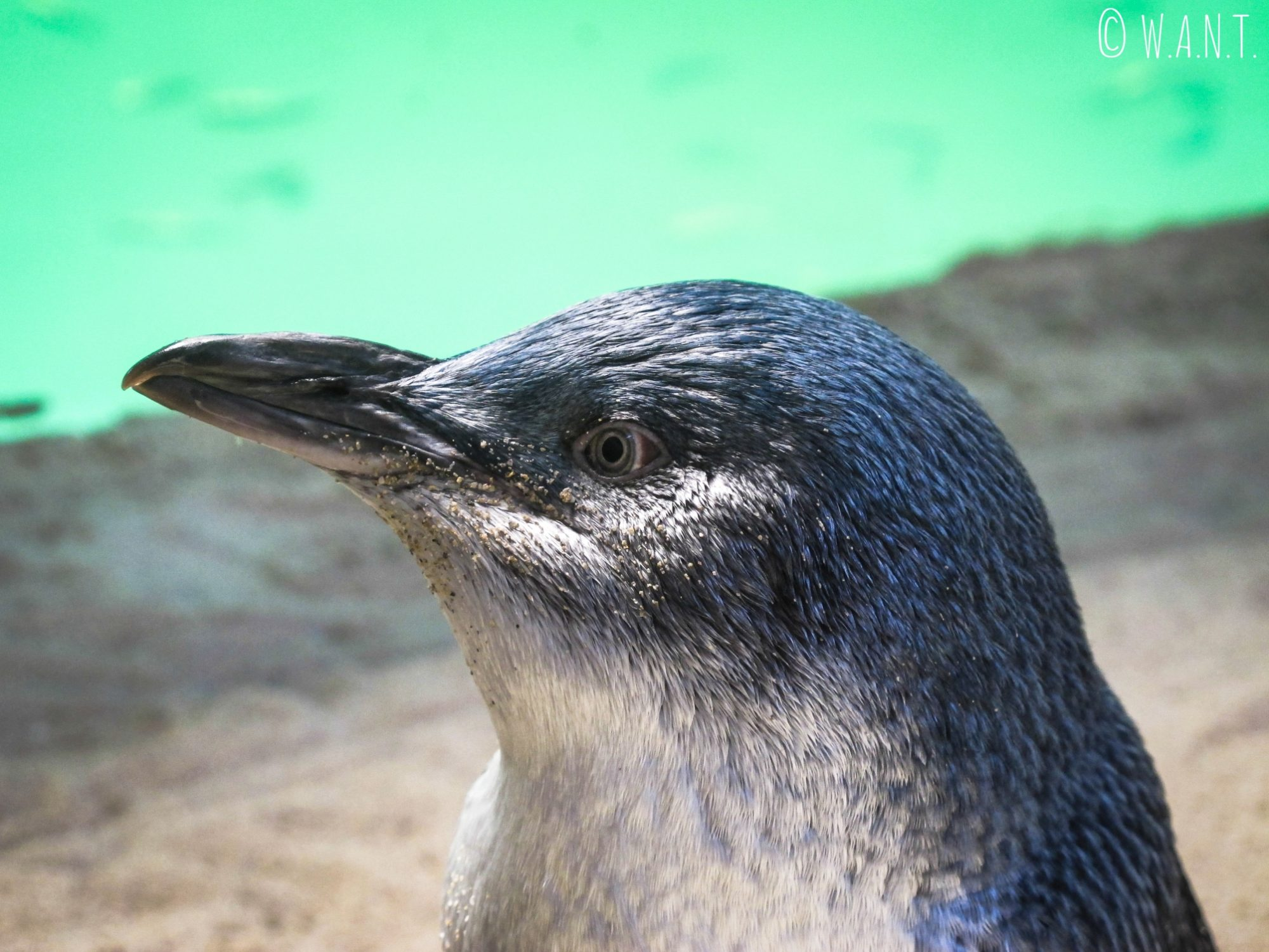 Gros plan sur l'un des pingouins de Penguin Island