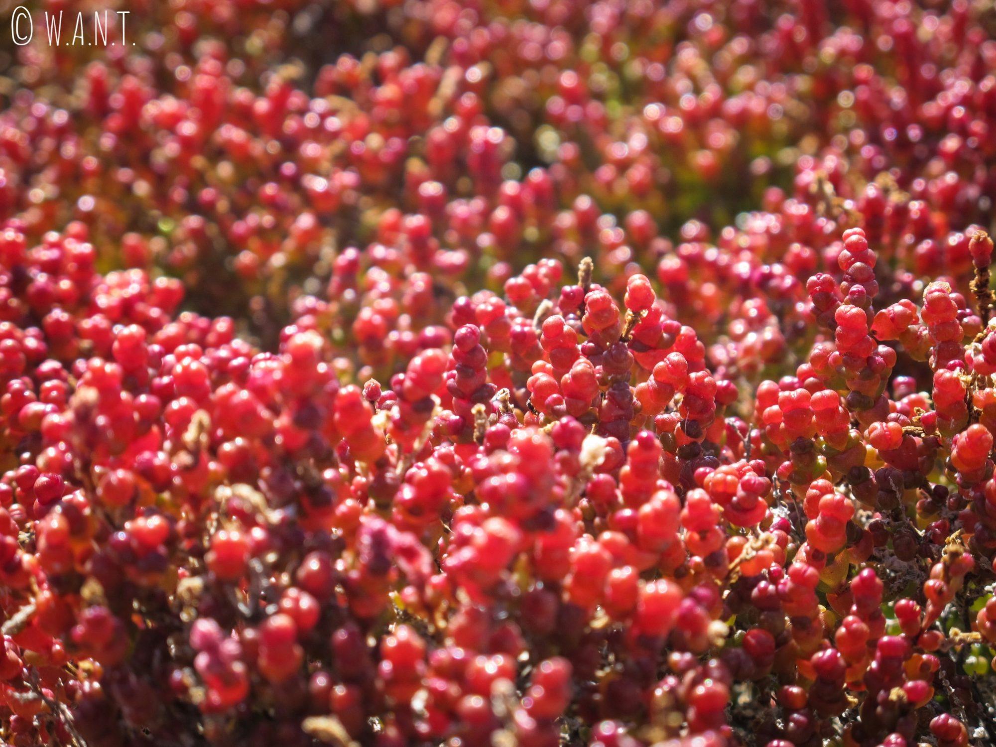 Gros plans sur les plantes rouges du Pink Lake de Rottnest Island
