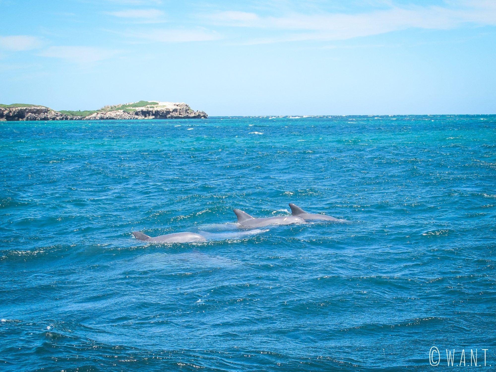 Groupe de dauphins durant la croisière Dolphin, Penguin & Sea Lion Cruise sur Penguin Island