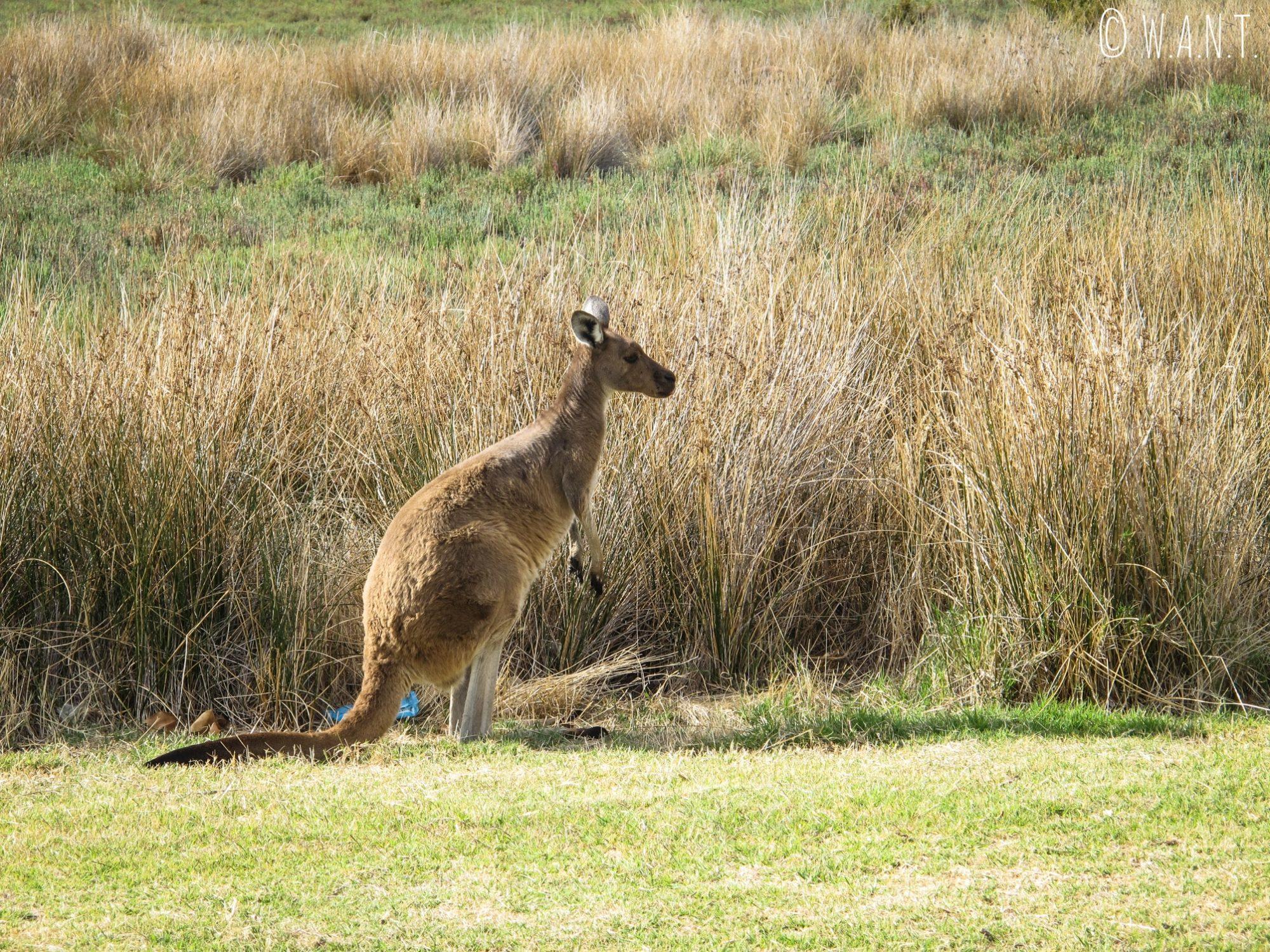 Il ne reste qu'un petit nombre de kangourous sur Heirisson Island à Perth, et nous avons eu la chance d'en voir plusieurs
