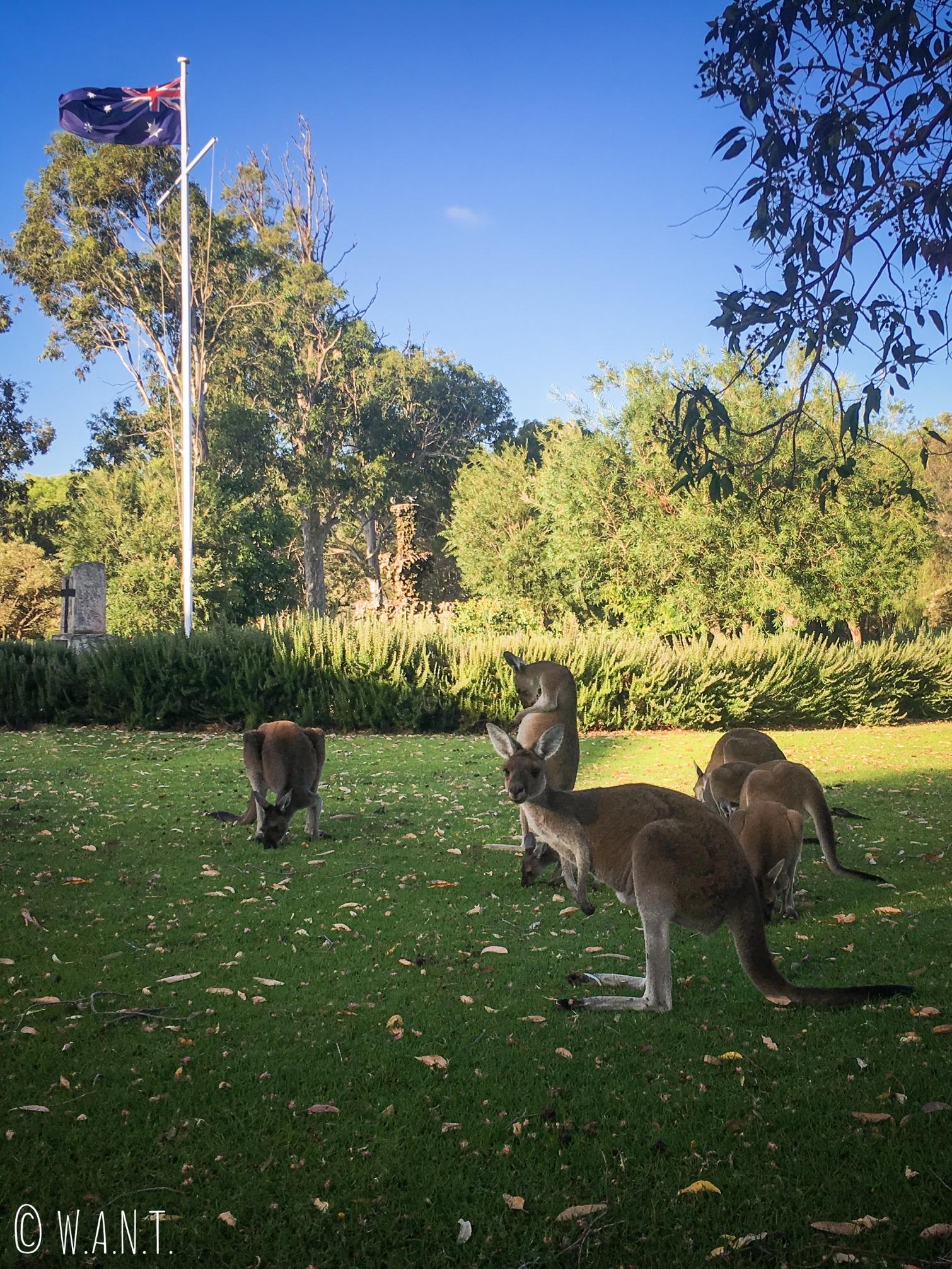 Kangourous en liberté au Yanchep National Park au nord de Perth