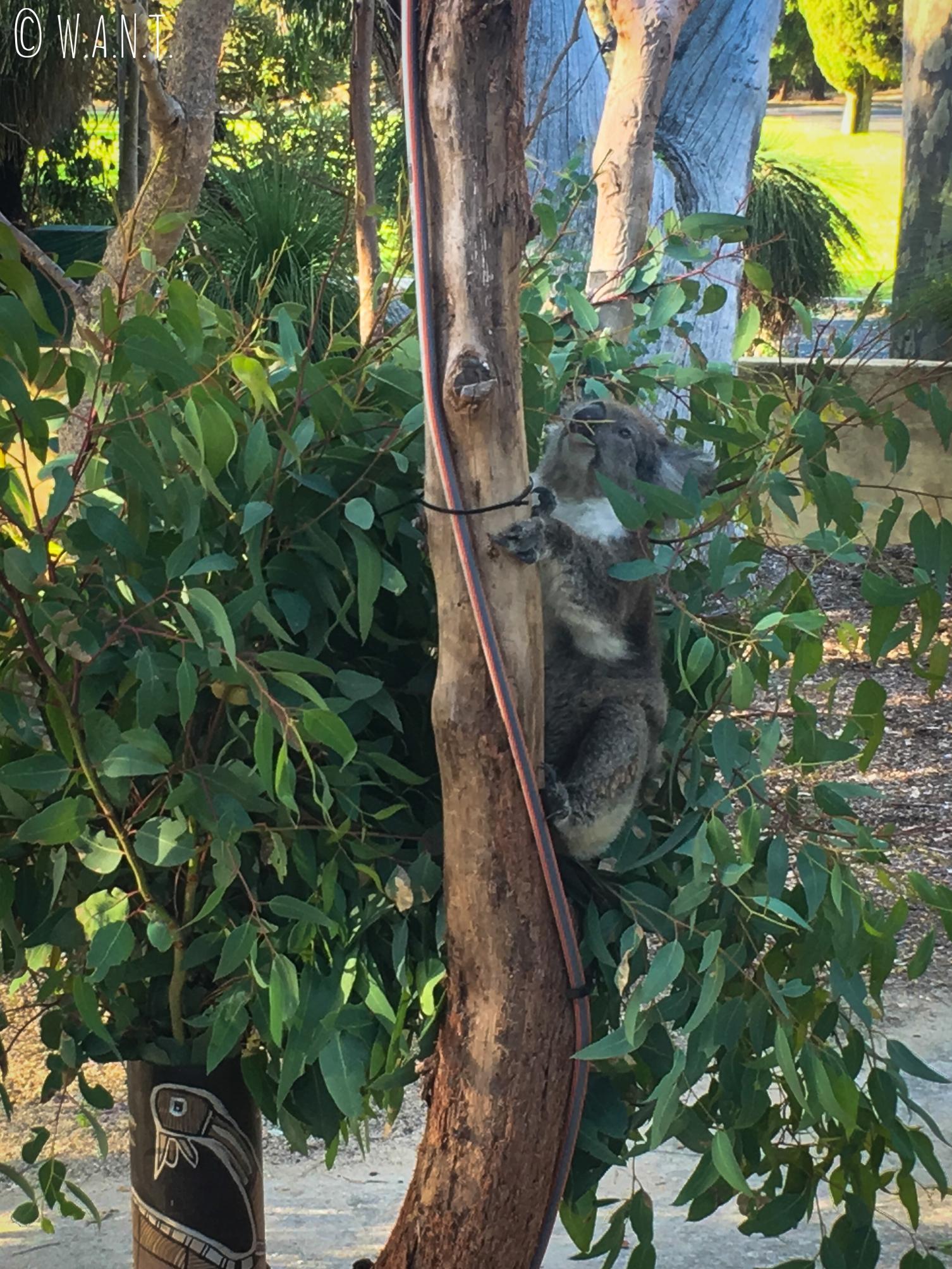 Koalas au Yanchep National Park au nord de Perth