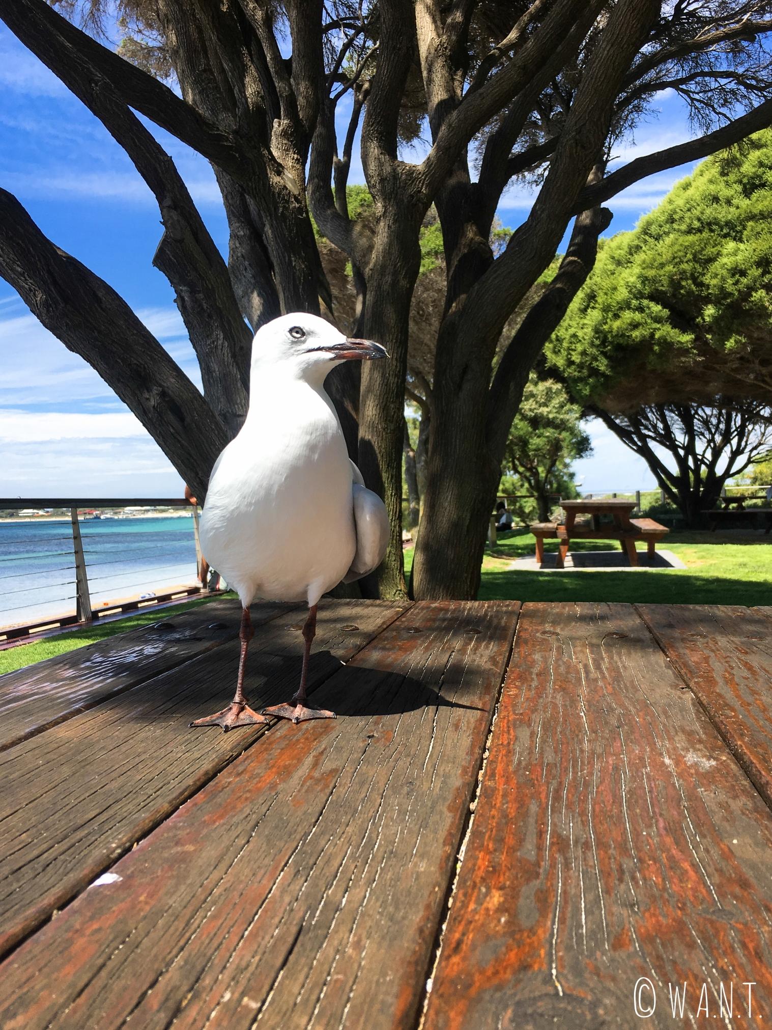 La mouette veut voler le sandwich de Marion sur Penguin Island