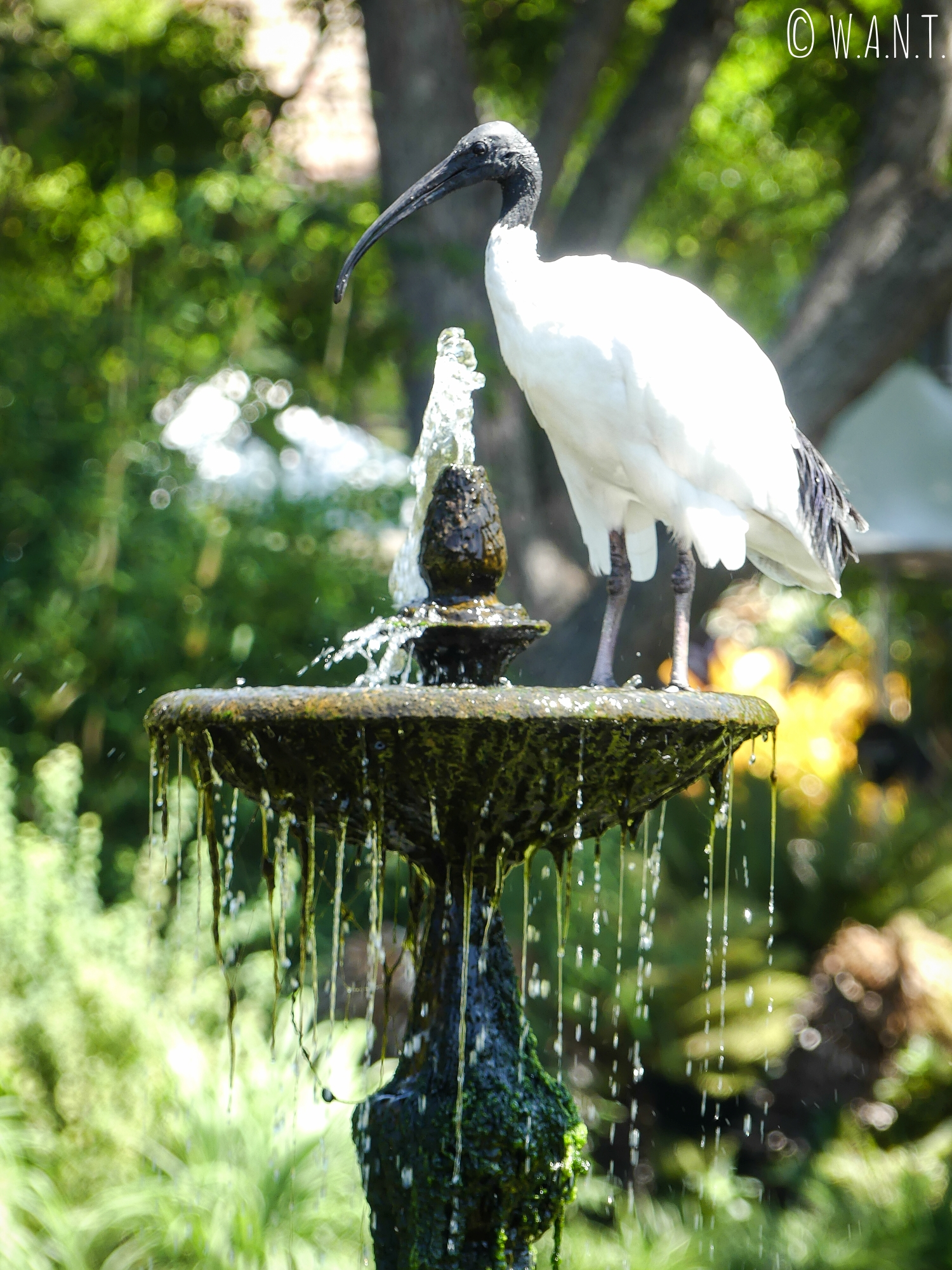 Les ibis à cou noir peuplent le Royal Botanic Garden de Sydney