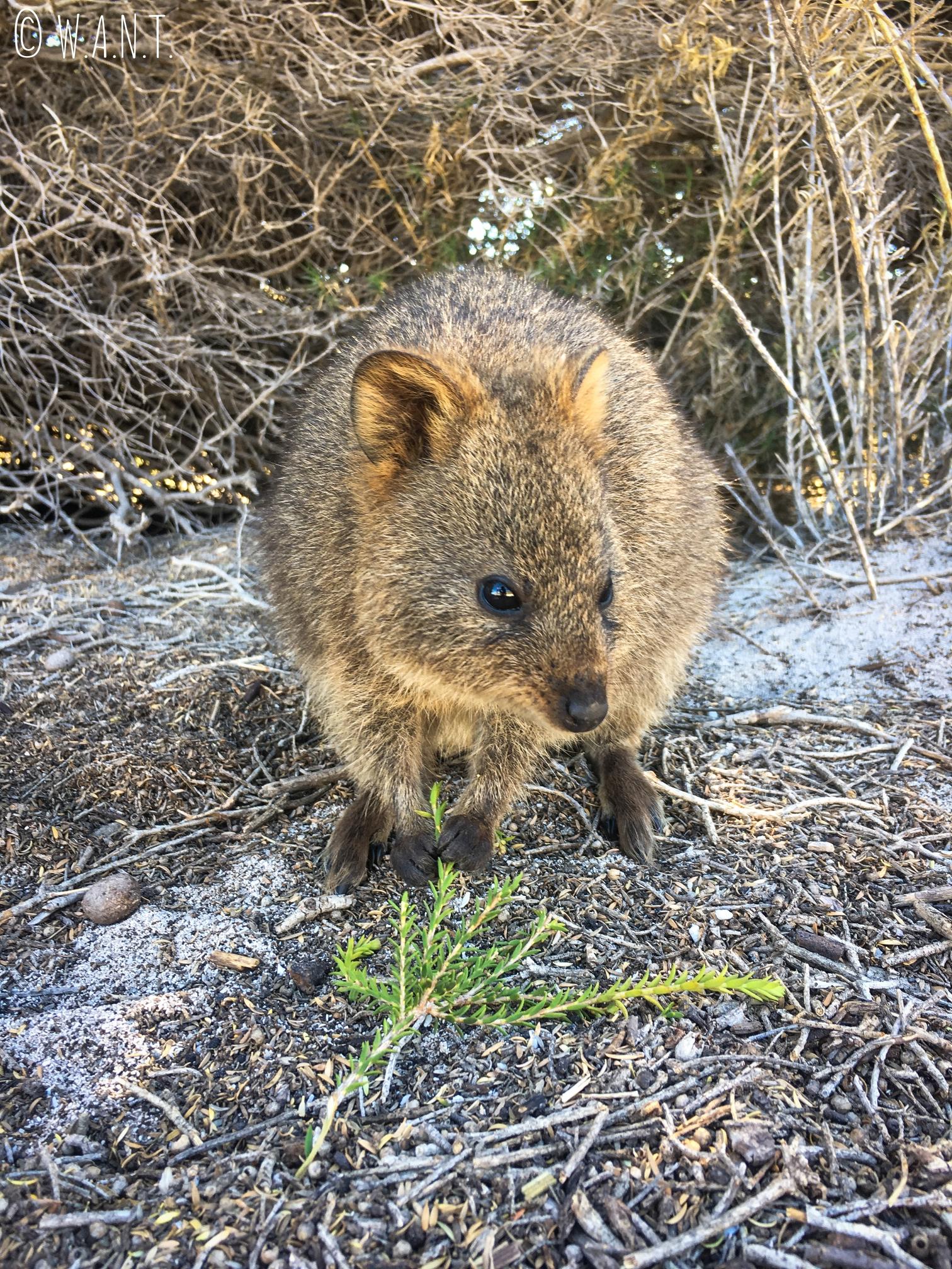 Petit et mignon quokka sur Rottnest Island