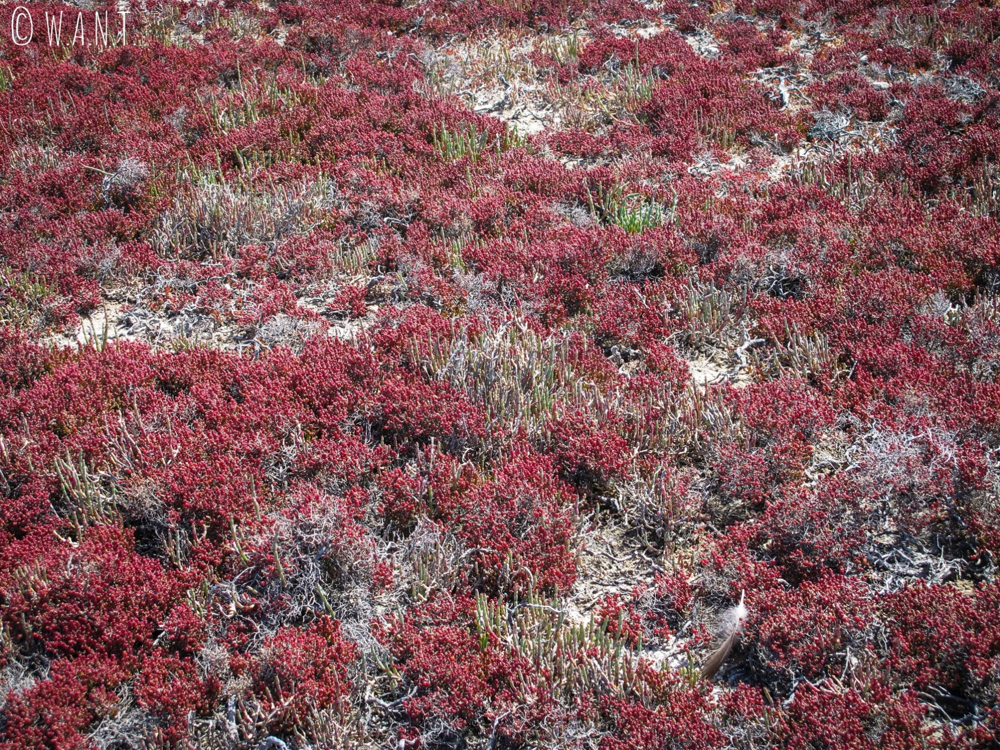 Plantes rouges autour du Pink Lake de Rottnest Island