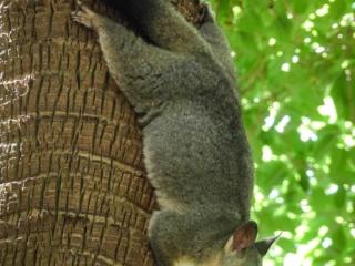 Possum sur un arbre du Royal Botanic Garden de Sydney