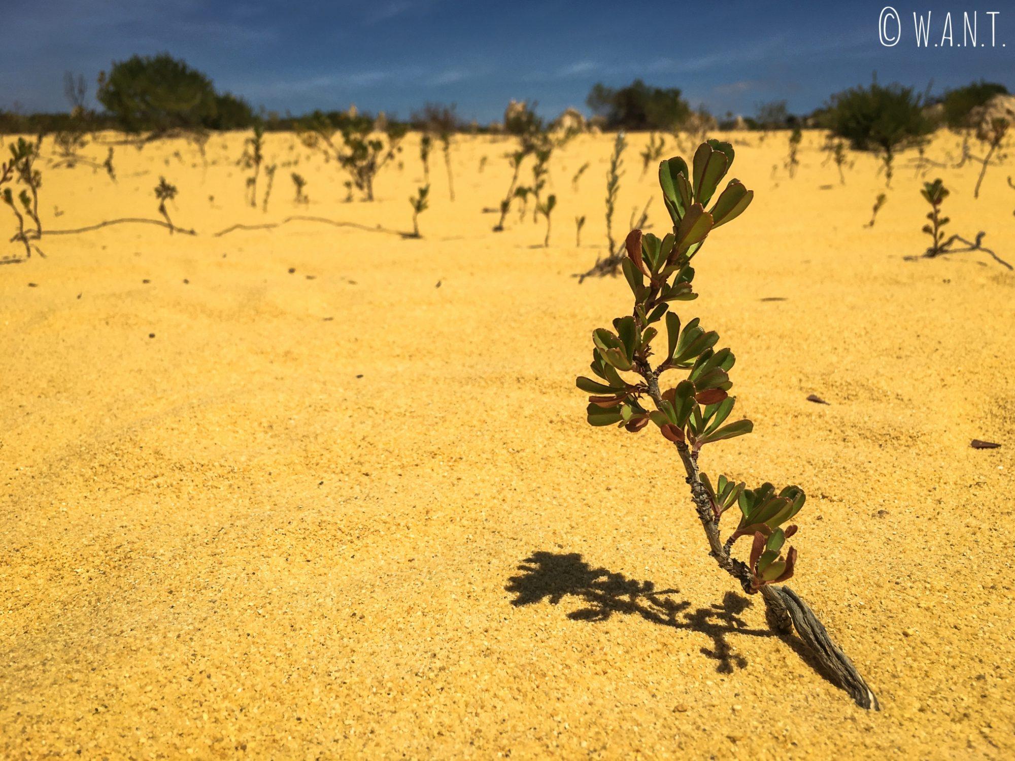 Végétation dans le désert des Pinnacles près de Cervantes