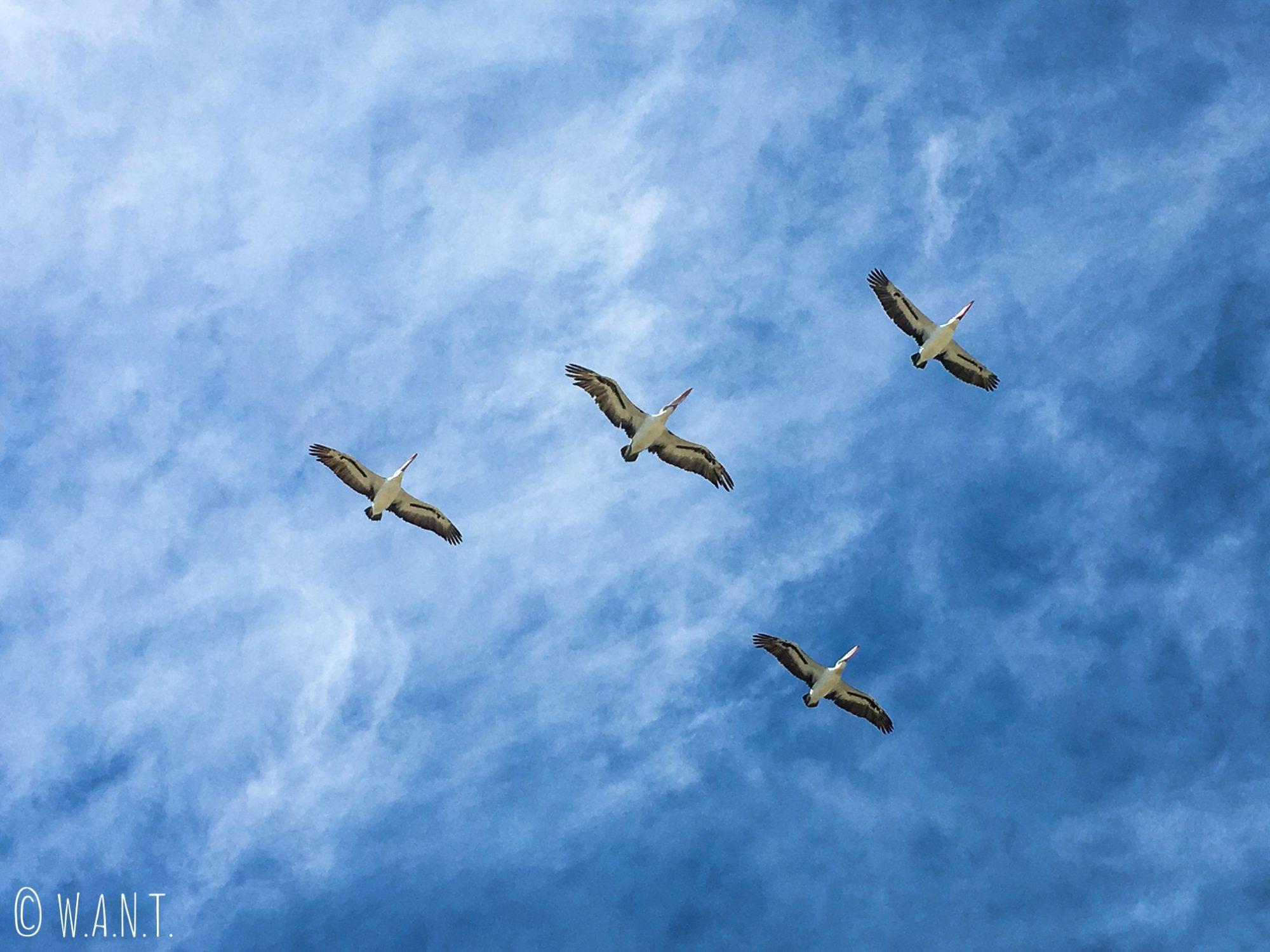 Vol de pélicans au-dessus de Penguin Island