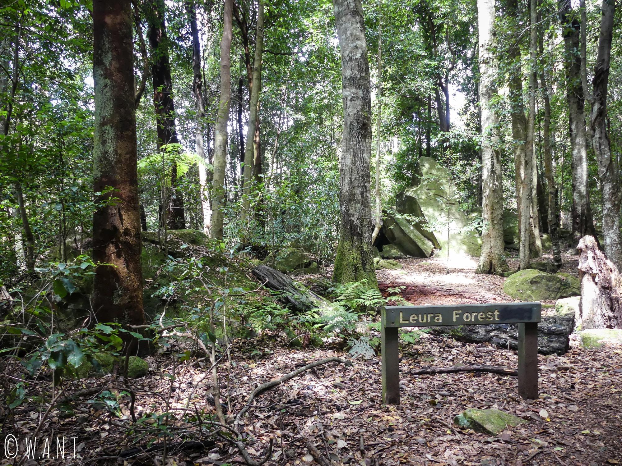 Au coeur de la Forêt d'Eucalyptus du Leura dans le parc national des Blue Moutains