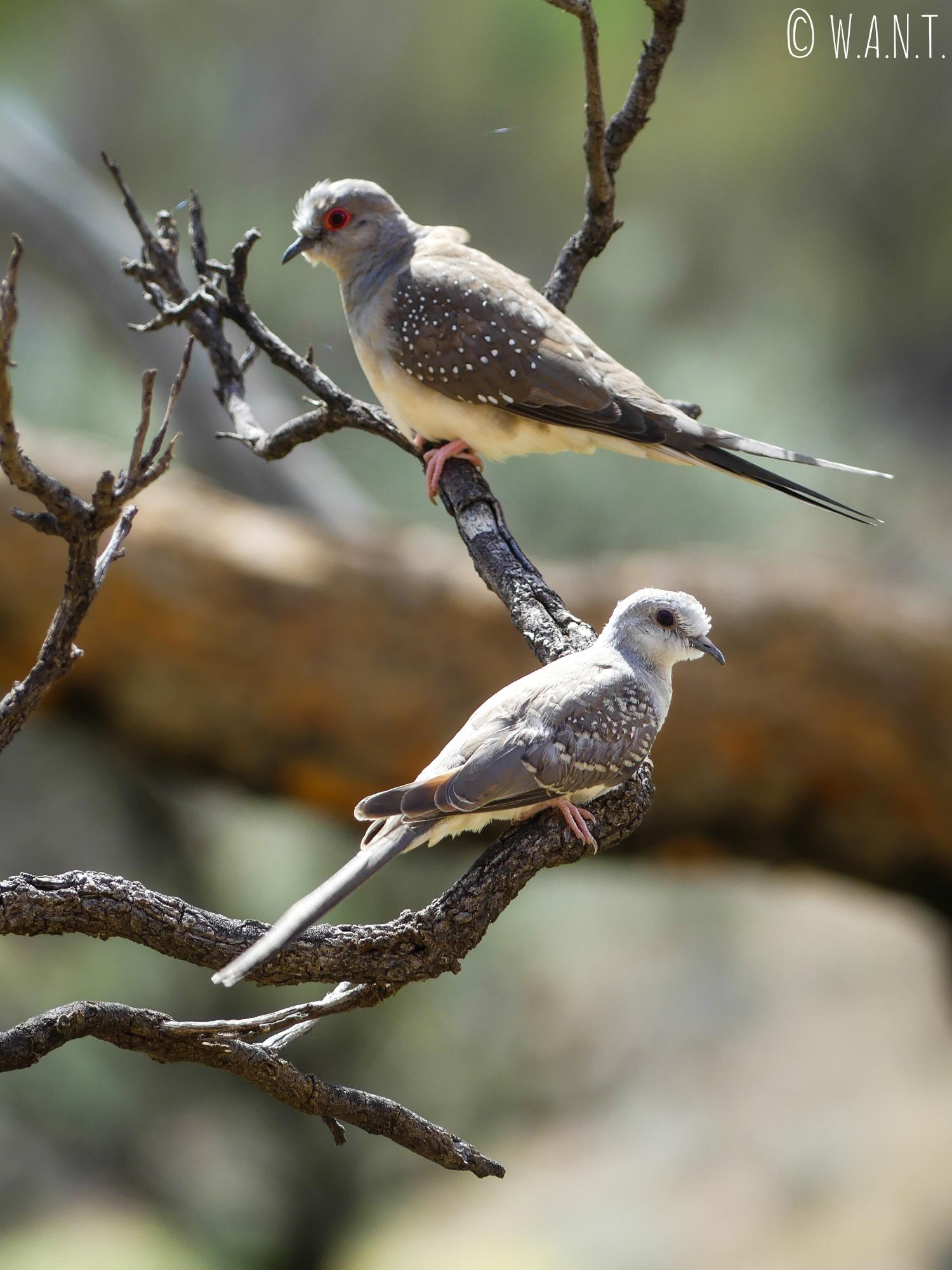 Couple de tourterelle dans le parc national Uluru-Kata Tjuta
