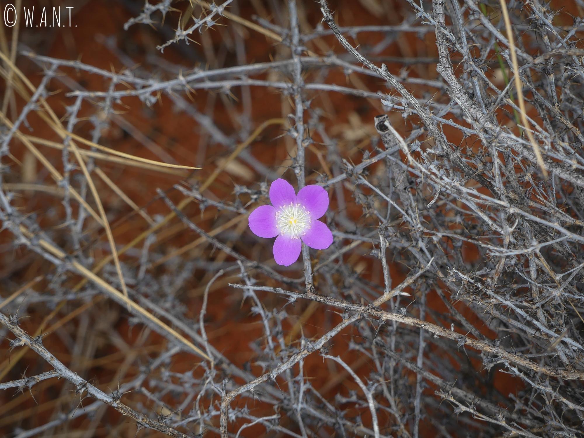 Fleur violette dans le parc national Uluru-Kata Tjuta