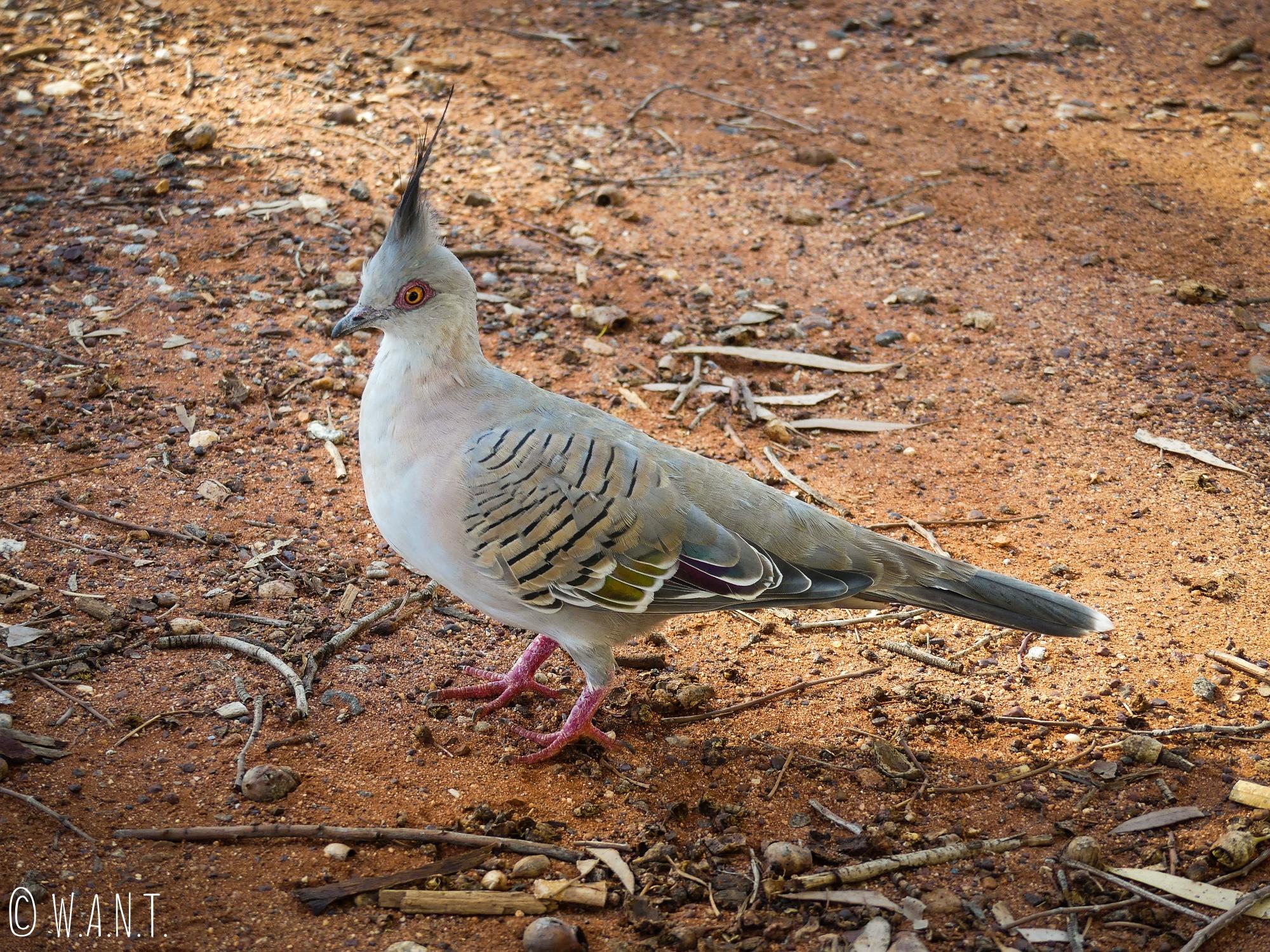 Pigeon à crête à Uluru