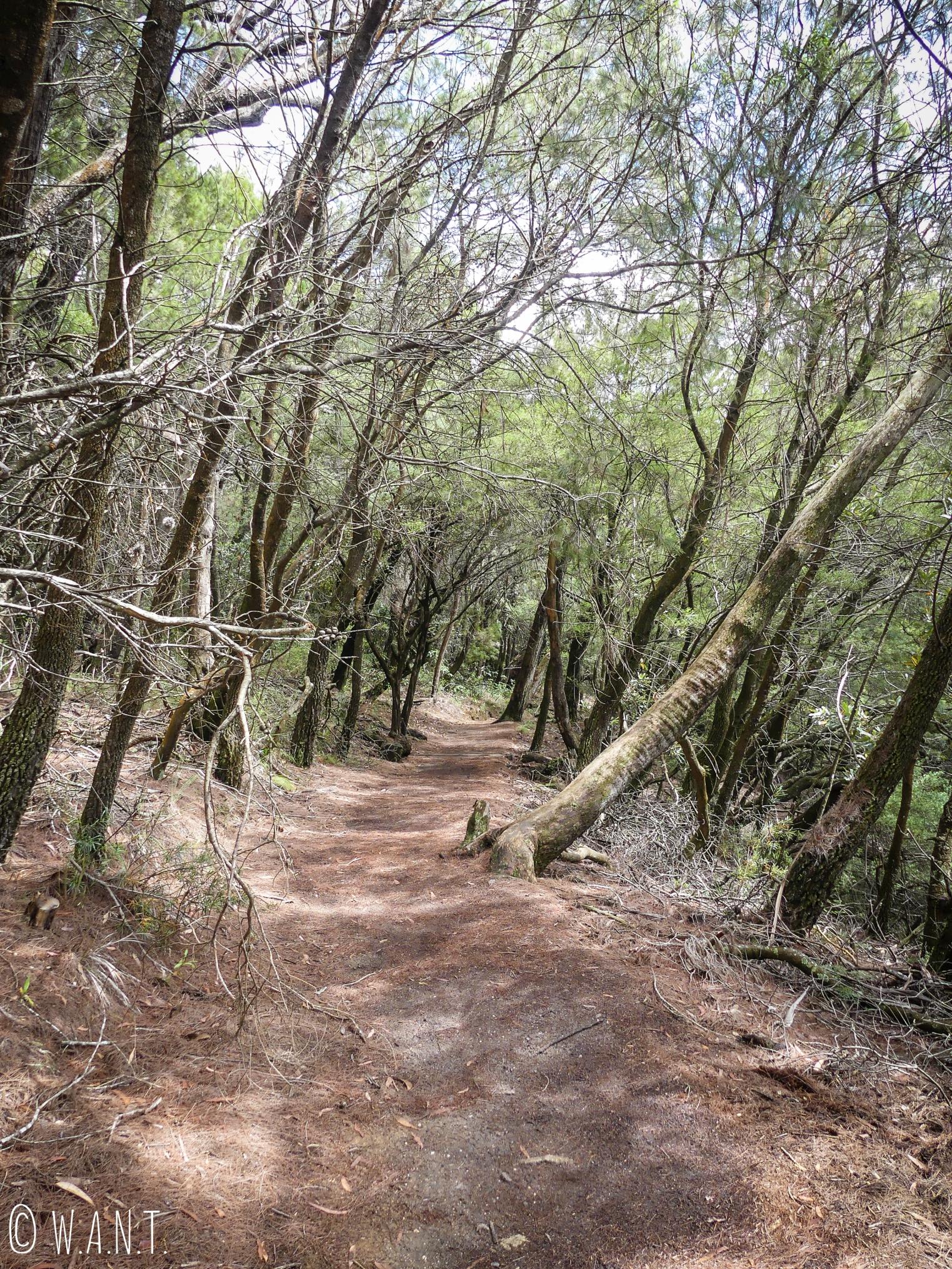 Sur un chemin de randonnée au coeur de la forêt d'eucalyptus dans le parc national des Blue Moutains