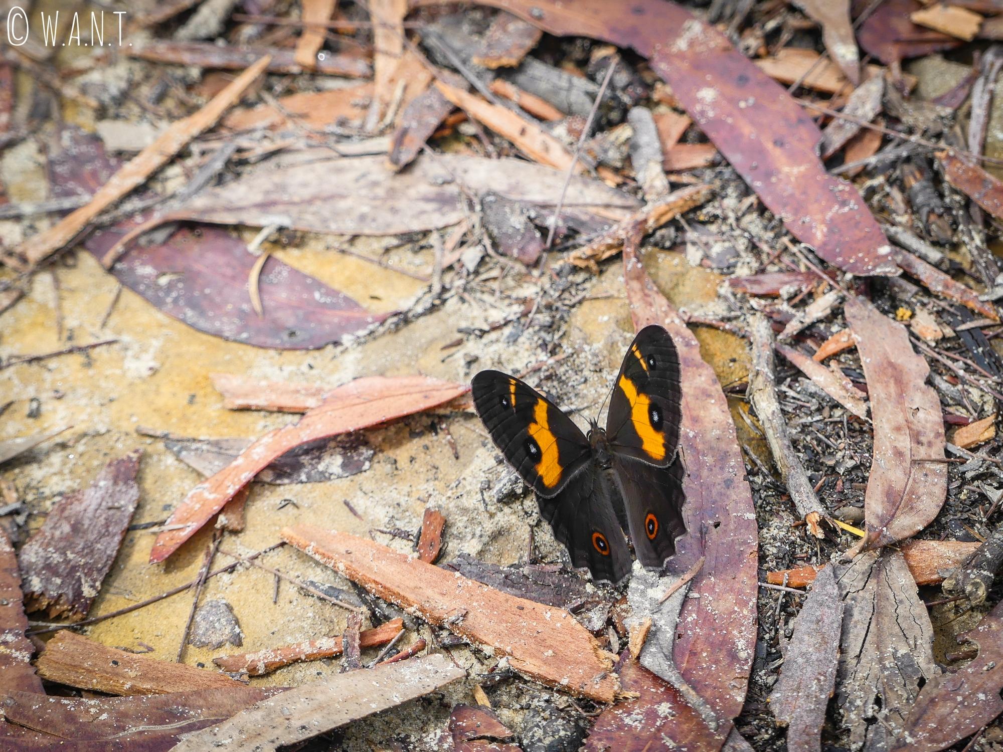 Un papillon nous accompagne lors de cette randonnée sur le chemin du Prince Henry Cliff Walk, dans les Blue Mountains