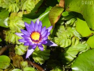 Gros plan sur l'une des nombreuses fleurs du jardin d'eau de Vaipahi sur l'île de Tahiti