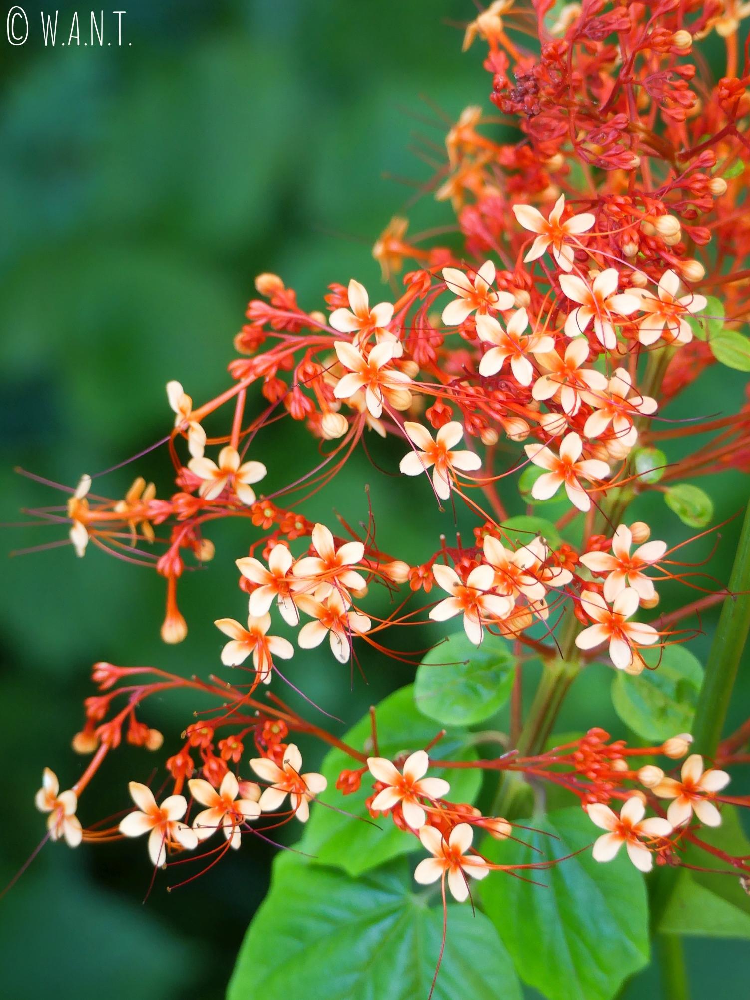 Les fleurs, du jardin d'eau de Vaipahi sur l'île de Tahiti, sont magnifiques