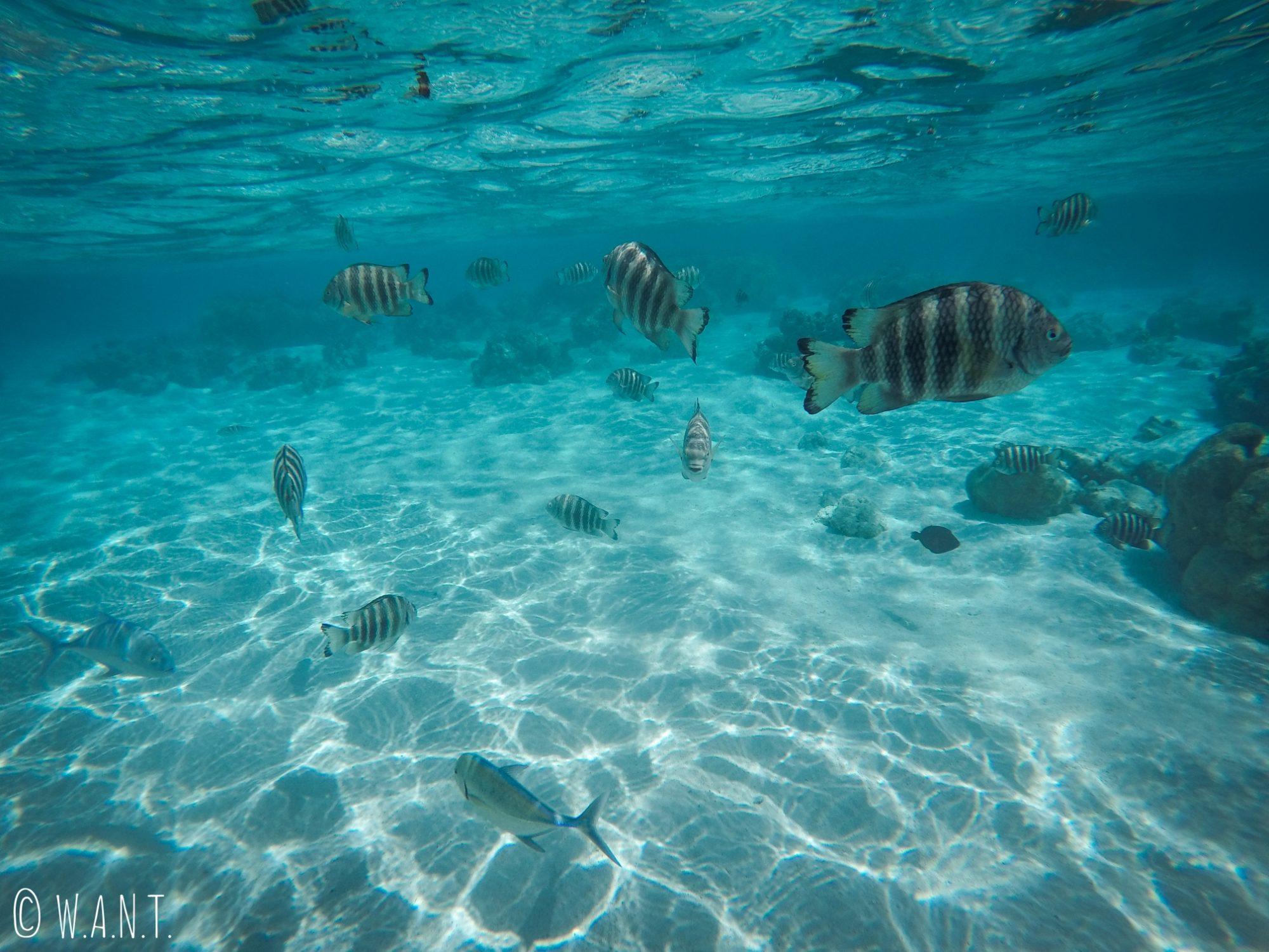 Les fonds marins sont plutôt riches dans le lagon de l'îe de Moorea