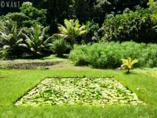 Nénuphars au Jardin d'eau de Vaipahi sur l'île de Tahiti