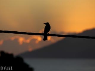 Oiseau sur un fil électrique au moment du coucher de soleil à Tahiti