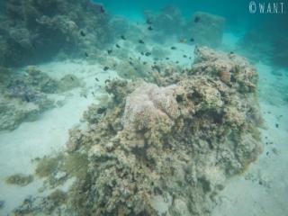 Une patate de corail abrite souvent une faune et une flore des plus diverses