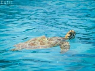 Une tortue marine reprend son souffle dans le lagon de Moorea