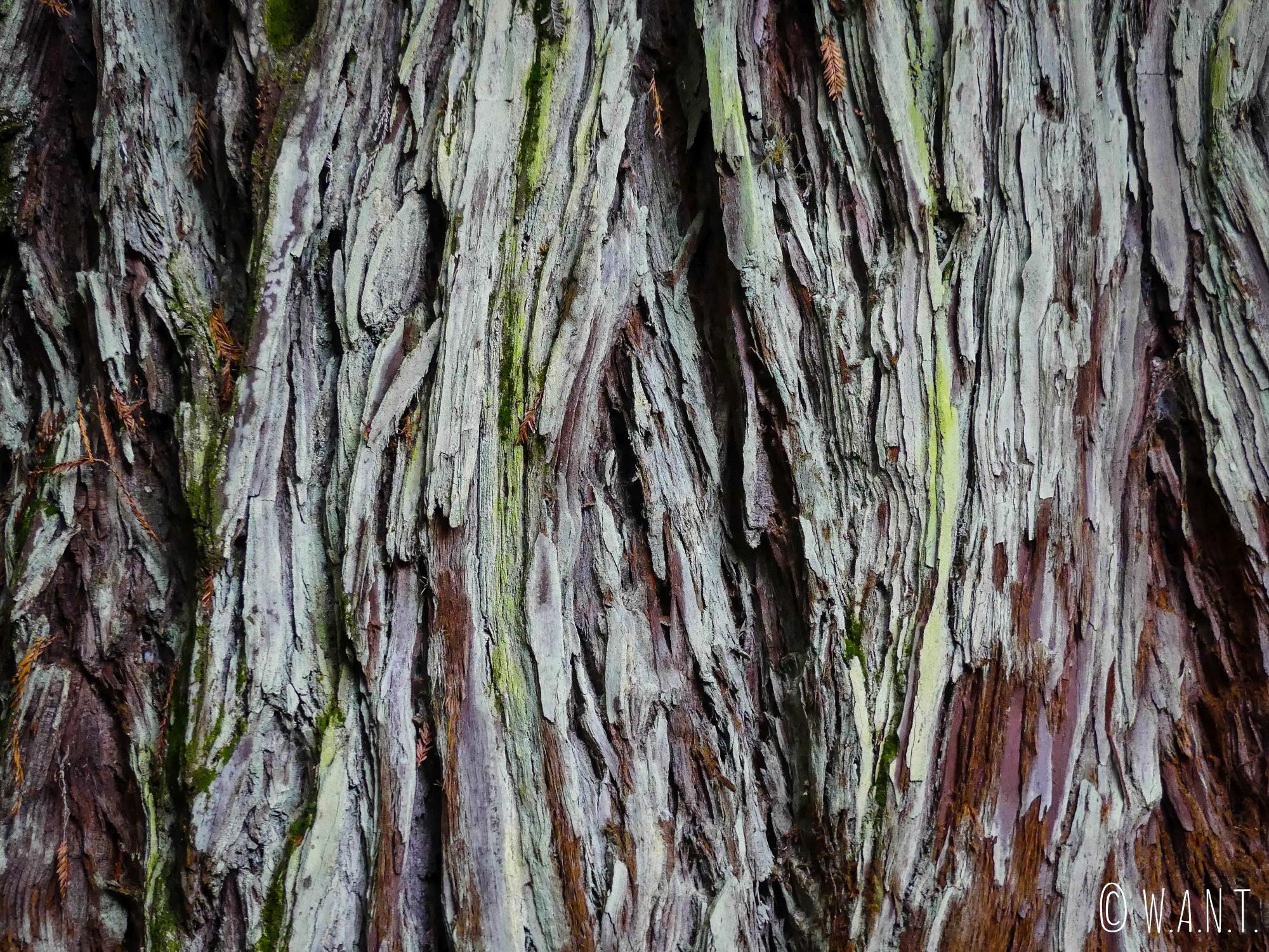 Écorce d'un Redwoods près de Rotorua en Nouvelle-Zélande