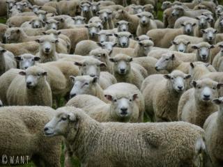 Nous avons vu un nombre incalculable de moutons en Nouvelle-Zélande