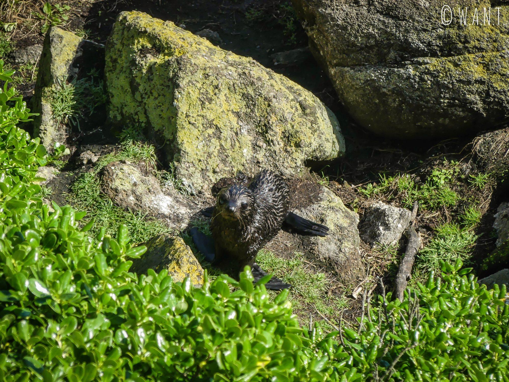 Adorable phoque observé depuis à Tauranga Bay en Nouvelle-Zélande