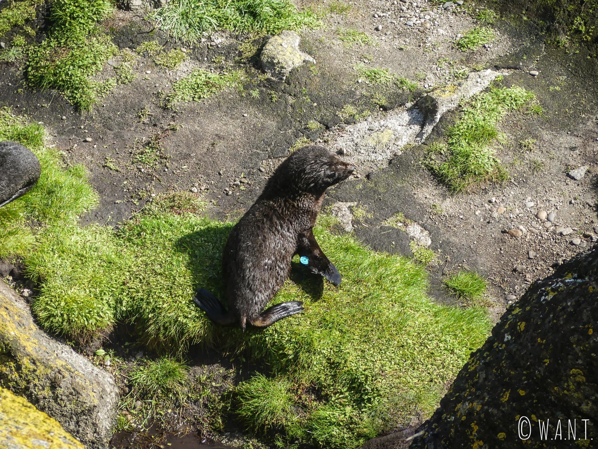 Jeune phoque sur les rochers de Tauranga Bay en Nouvelle-Zélande