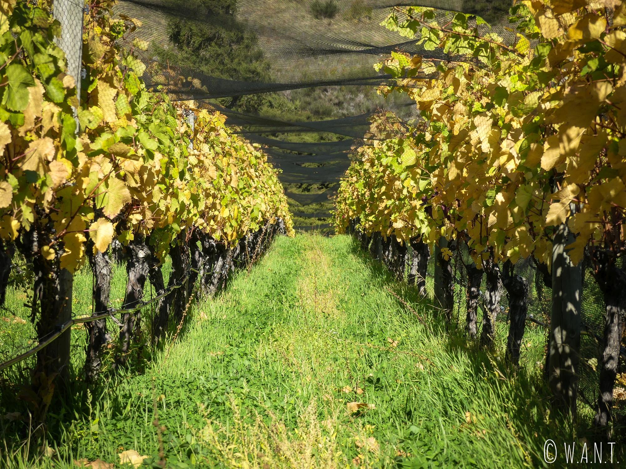 Au cœur des vignes du domaine Rippon à Wanaka en Nouvelle-Zélande