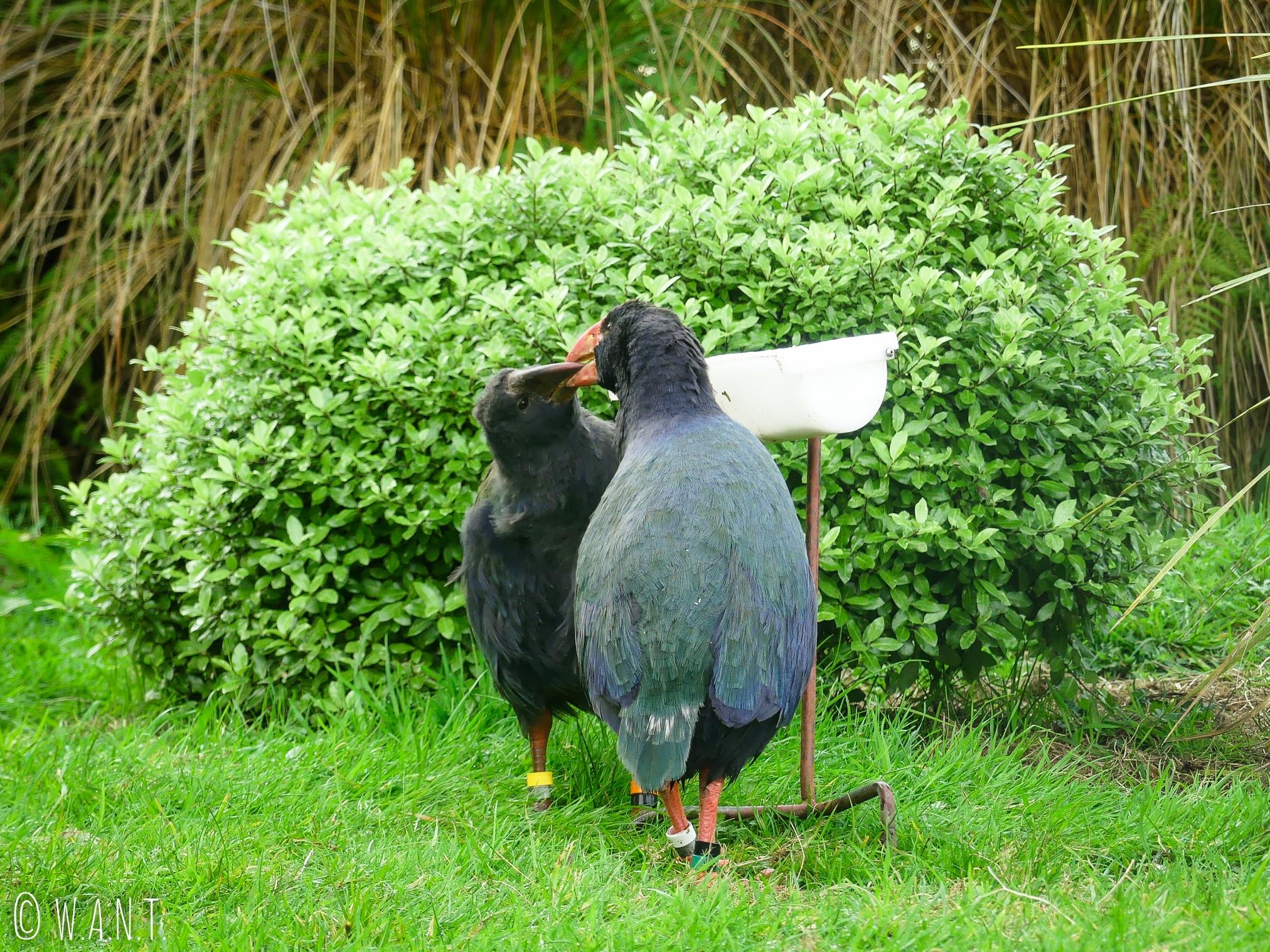 Couple de Takahé au Bird Sanctuary de Te Anau en Nouvelle-Zélande