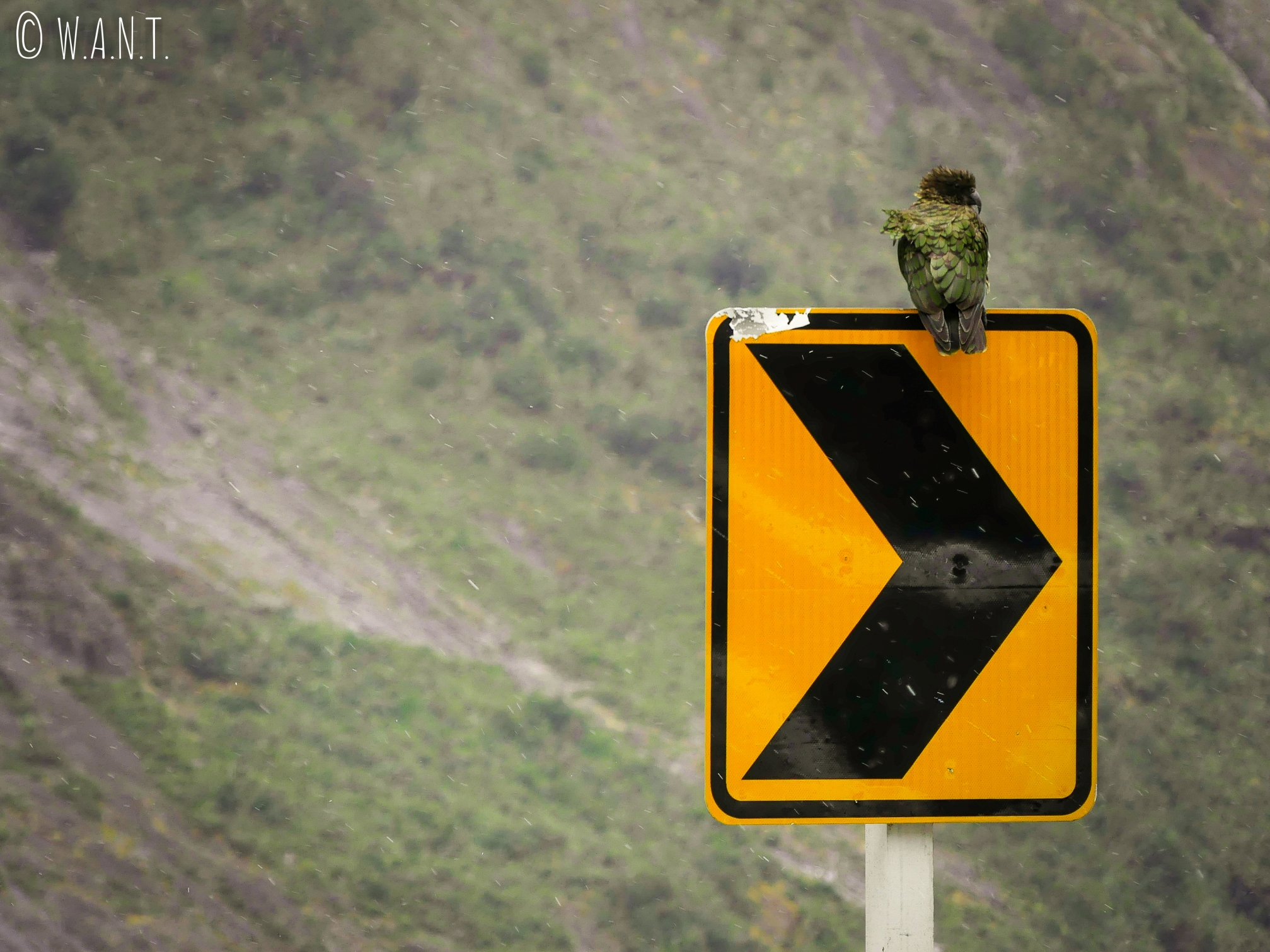 Kéa au Fiordland National Park en Nouvelle-Zélande
