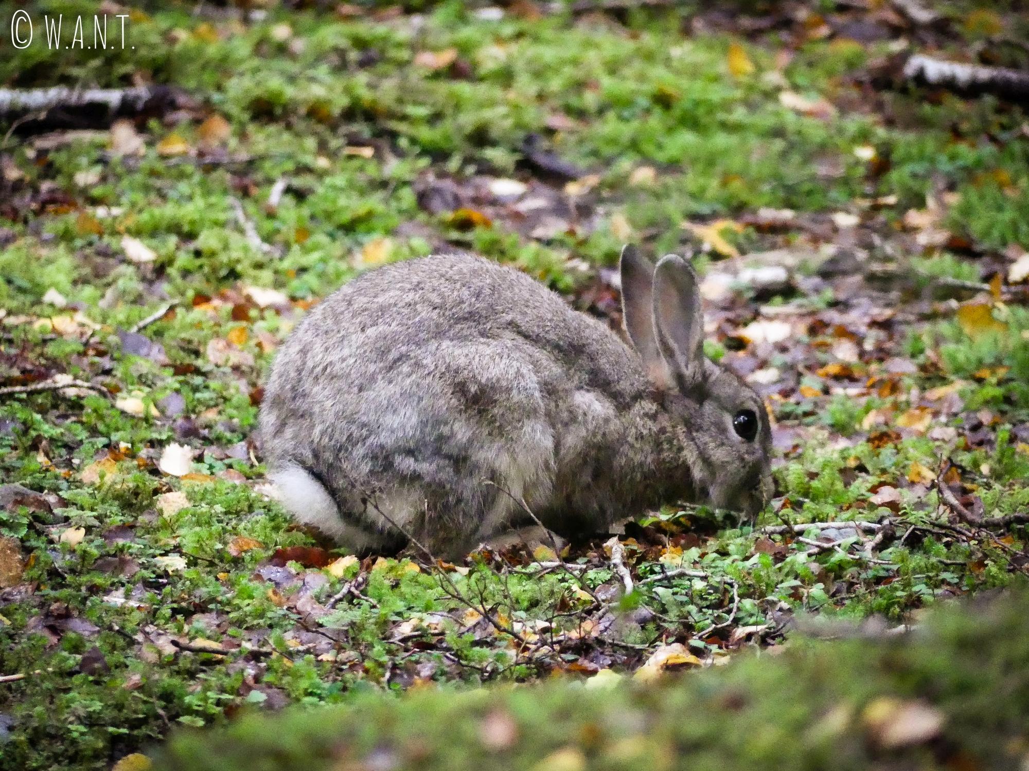 Lapin rencontré au petit matin sur la randonnée du Gunn Lake en Nouvelle-Zélande