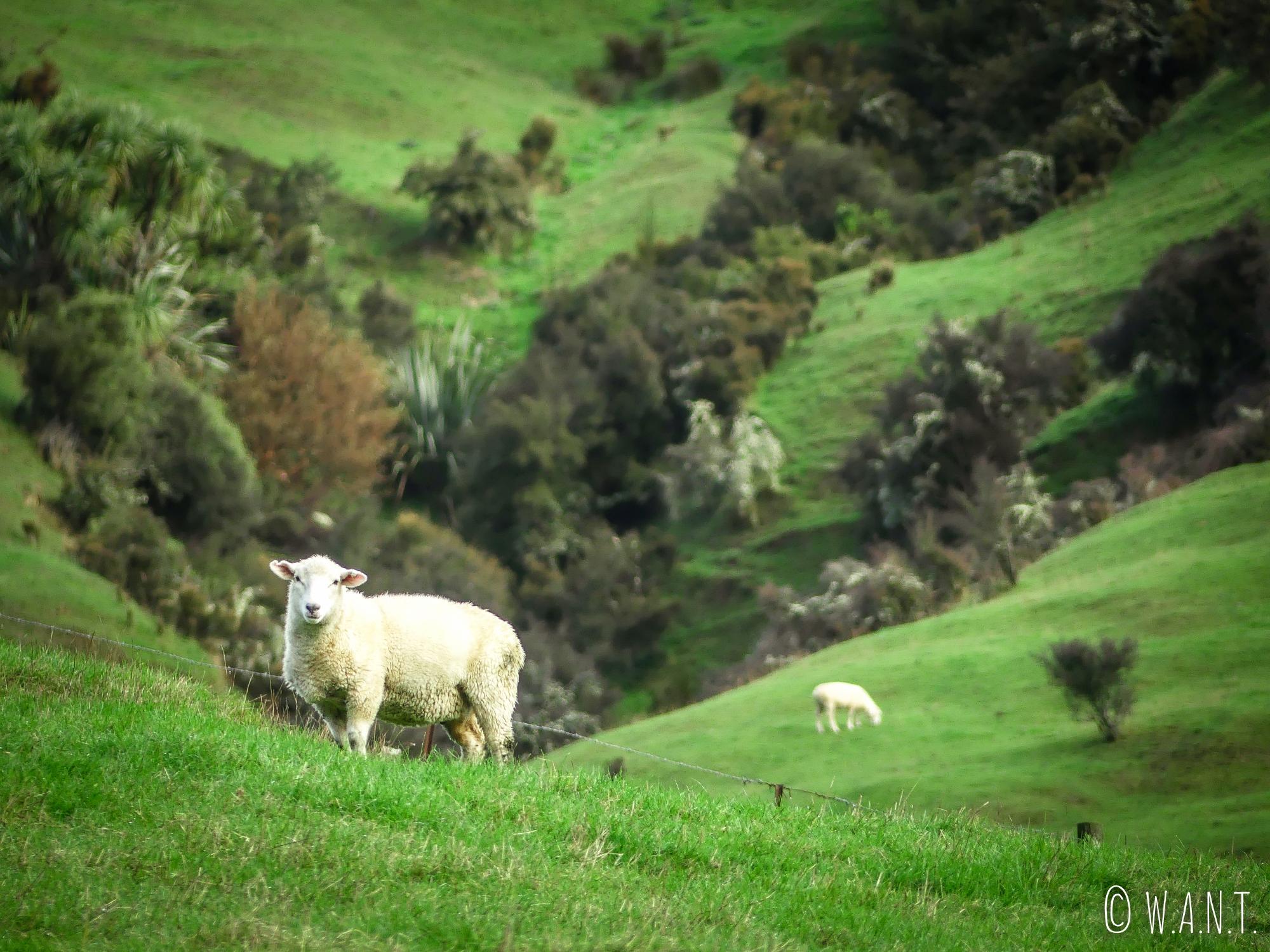 Mouton sur le long de la route en Nouvelle-Zélande