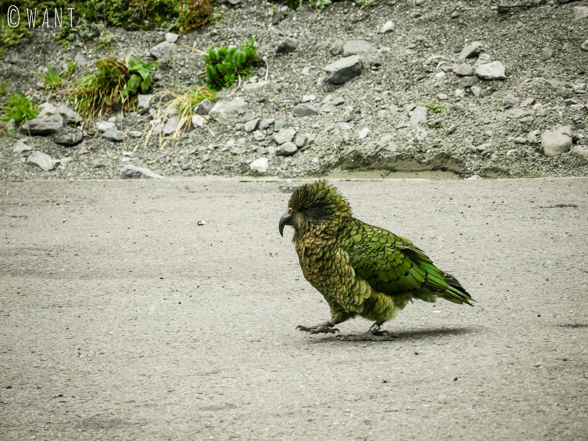 Rencontre avec un kéa sur la route de Milford Sound en Nouvelle-Zélande