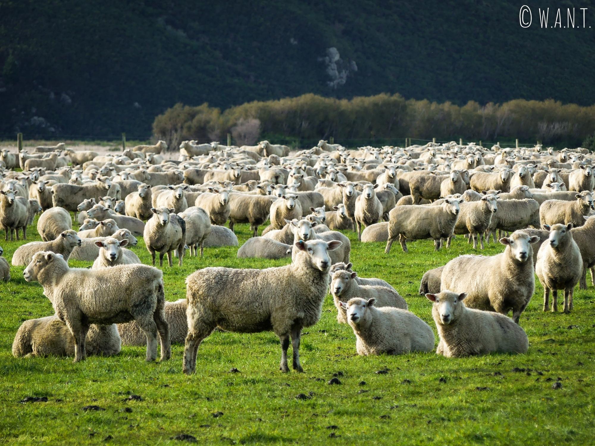 Troupeau de moutons sur la route menant à Te Anau en Nouvelle-Zélande