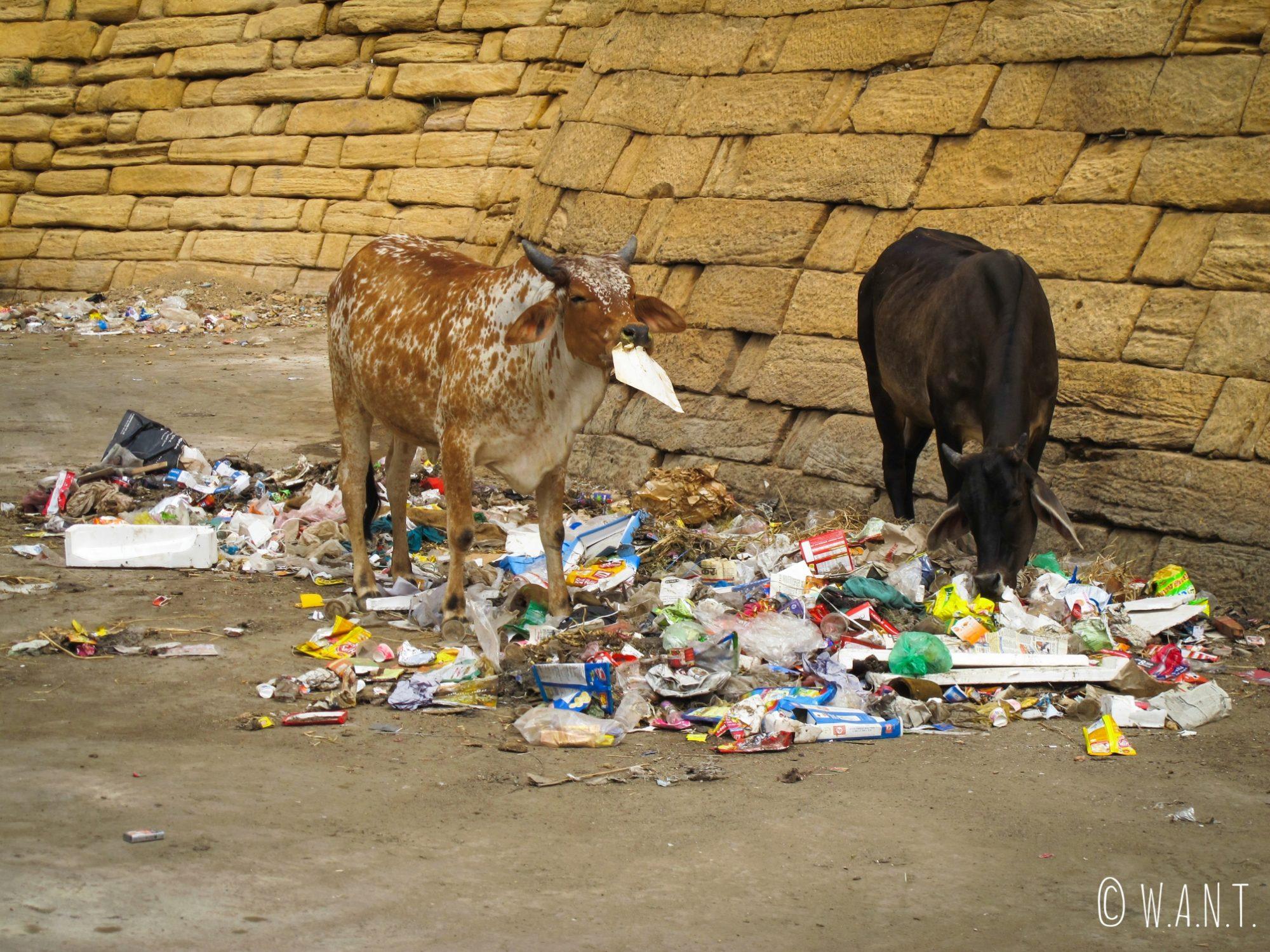Enormément de détritus jonchent le sol, et les animaux de rues (chèvres, vaches, chiens...) y trouvent leur compte