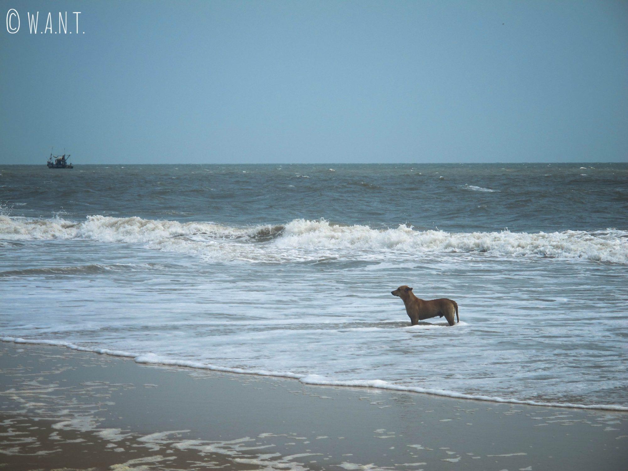 Les chiens errants de la plage profitent aussi de la baignade pour se rafraichir