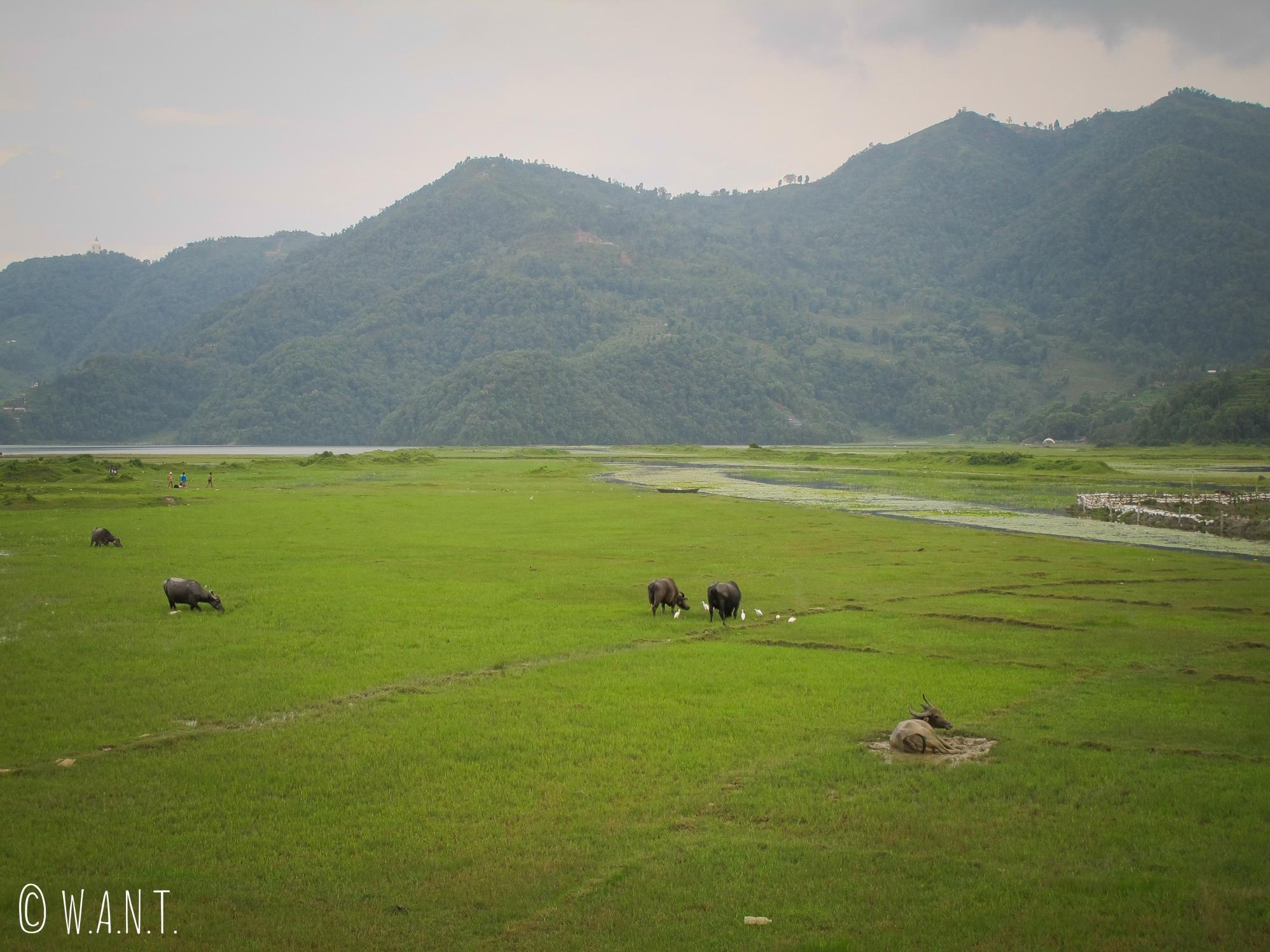 Au nord du lac Fewa, la nature reprend ses droits et les buffles profitent de ces grands espaces