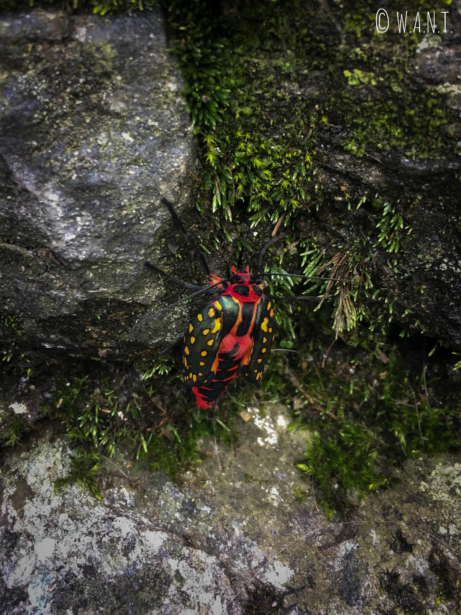 Impossible de mettre un nom sur ce superbe insecte croisé sur le chemin de Chhomrong