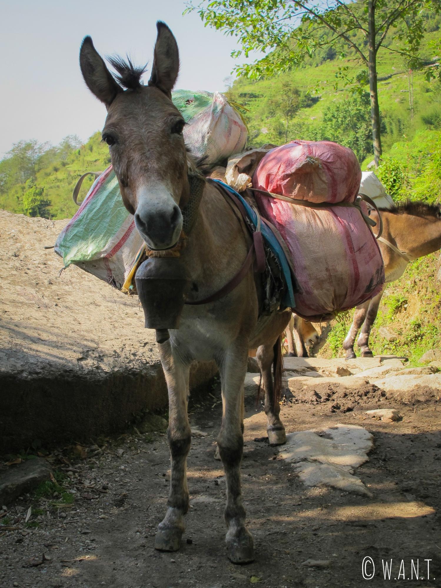 Les mulets portent à la fois des denrées, des poules, des bouteilles de gaz et tout ce dont les villageois et trekkeurs ont besoin