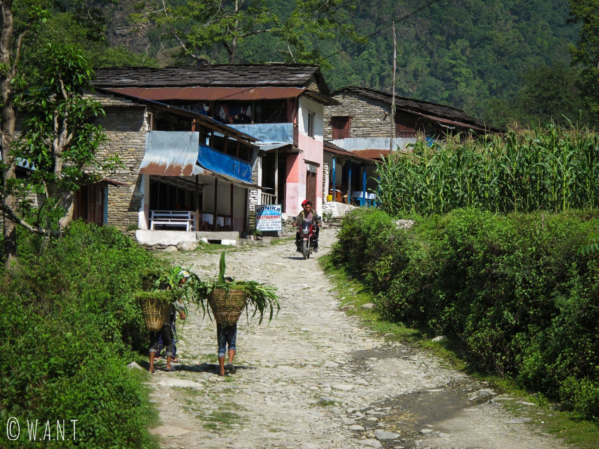 Sur le chemin entre Birethanti et Ulleri, les adolescents ramassent le maïs