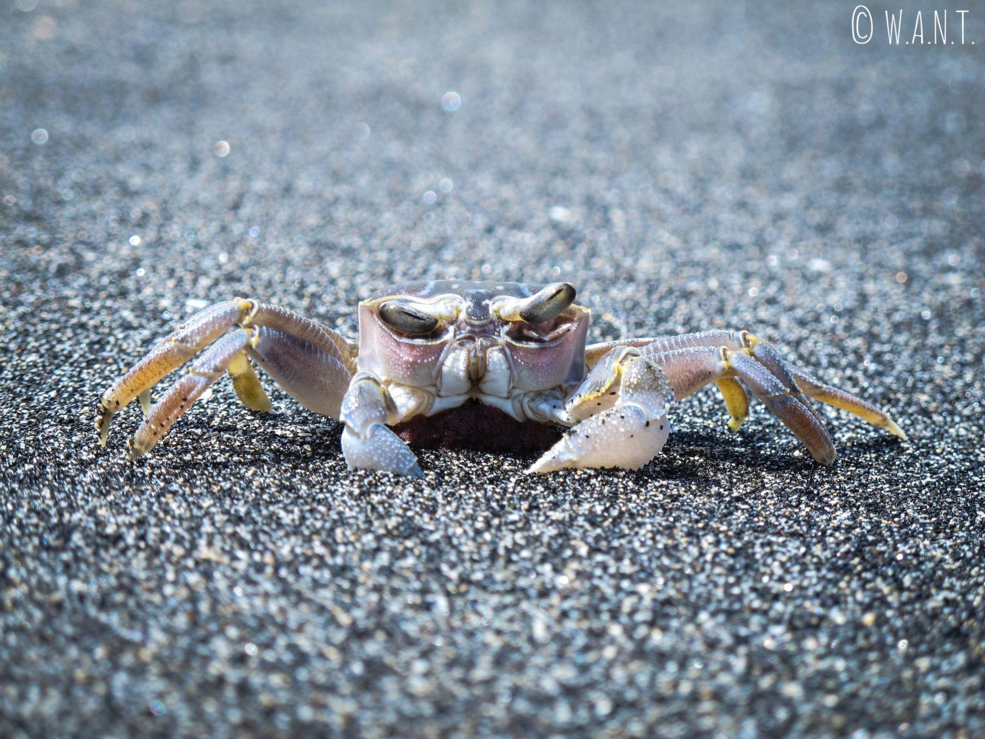 Crabe sur le sable noir de la plage de Mangsit à Lombok