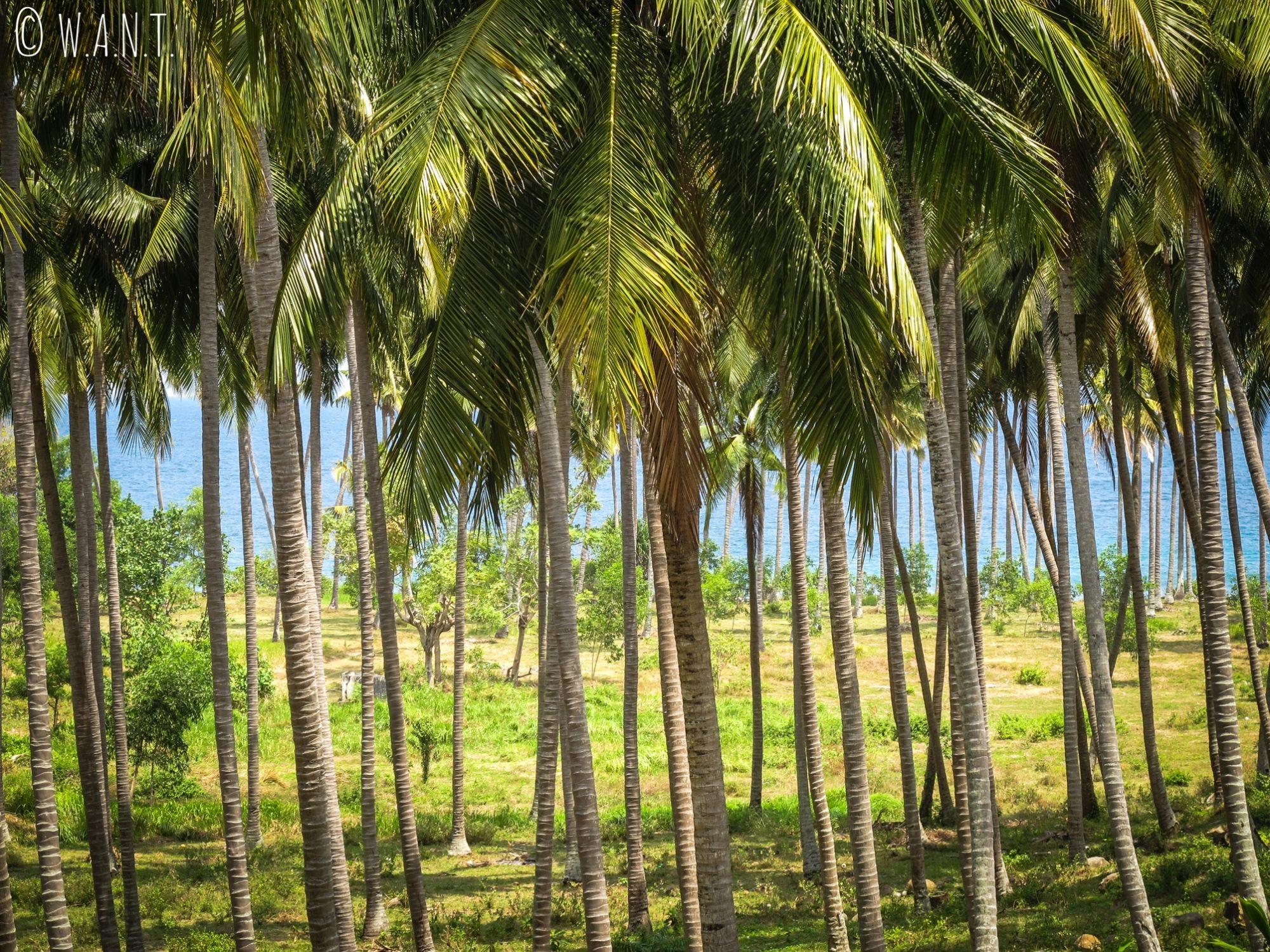 Plantation de palmiers sur la route entre Senggigi et Mangsit à Lombok