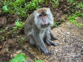 Portrait d'un singe à longue queue au Bako National Park