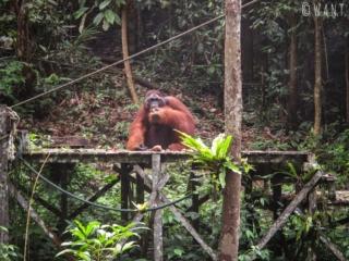 Ricchie, l'ancien mâle dominant du Semenggoh Nature Reserve de Kuching
