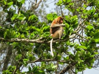 Singe nasique, la star du Bako National Park