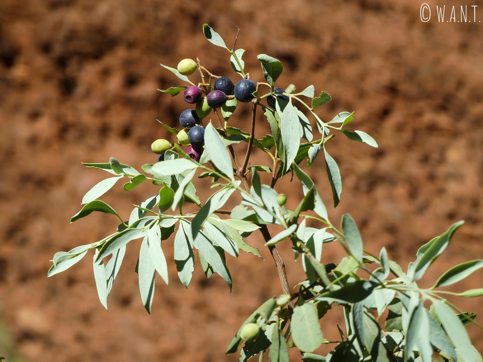 Bush Plum ou Arnguli dans le parc national Uluru-Kata Tjuta